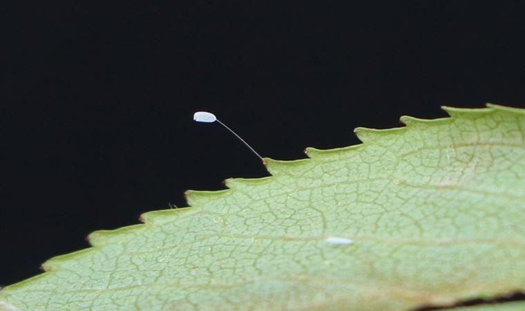 3 Bin Yılda Açtığına İnanılan 'Udumbara' Çiçeği Lapseki'de Görüldü