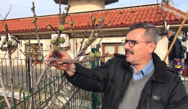 Çanakkale'de Kış Mevsiminde İncir Ağacı Meyve Verdi