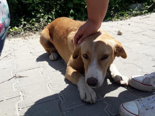 Lapseki'de sokak köpeğinin sırtını kestiler