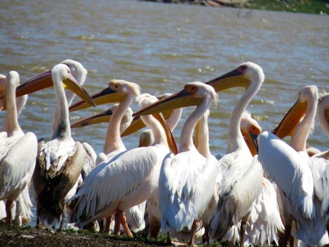 Ayıtdere Göleti Pelikanların Uğrak Yeri Oldu