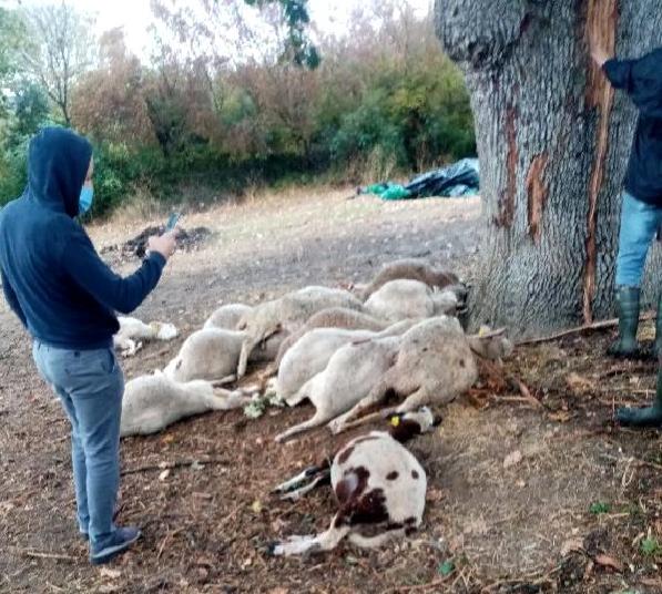 Biga'da Yıldırım Düştü; Ağaç Altındaki 13 Koyun Öldü