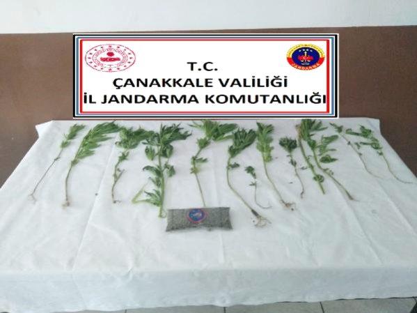 Çanakkale'de Yasa Dışı Kenevir Ekimine 2 Gözaltı