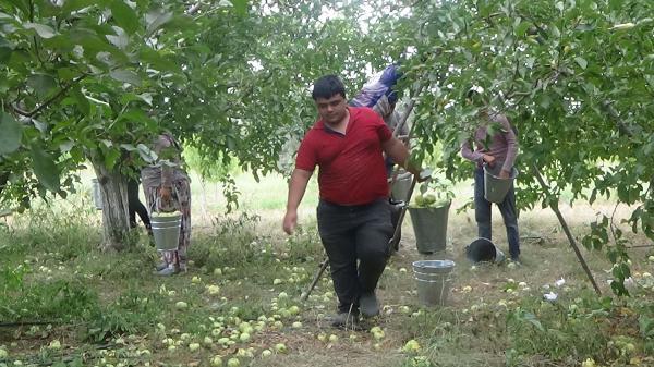 Elması İle Ünlü Bayramiç'te Üreticiler, Dolu Uyarısıyla Hasadı Hızlandırdı
