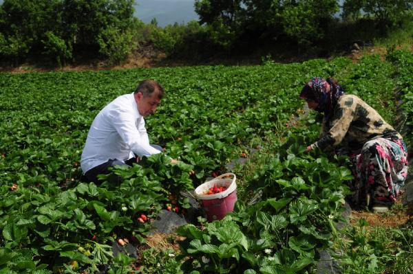 Kaz Dağları Eteklerinde Çilek Üretimi Arttı