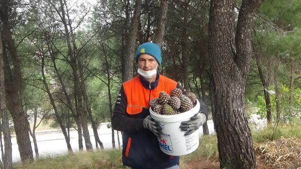 Kaz Dağları'ndaki Çam Fıstıkları Geçim Kaynağı Oldu
