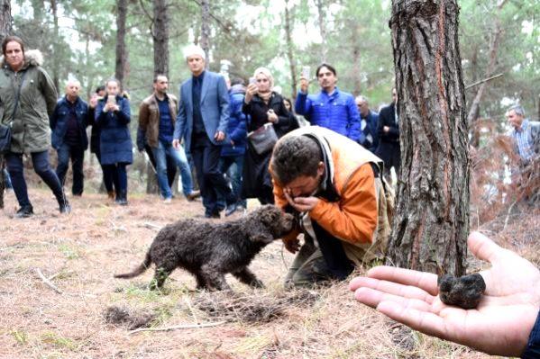 Mantar Avcısı Arthur, 1500 Euro'luk Trüf Mantarı Topladı