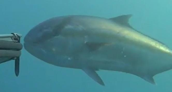 Rekortmen Dalgıç Dev Balığı Avladı