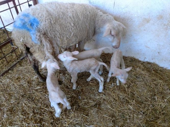 Ziraat Fakültesi Çiftliğinde Koyun Üretim Verimliliği Artıyor