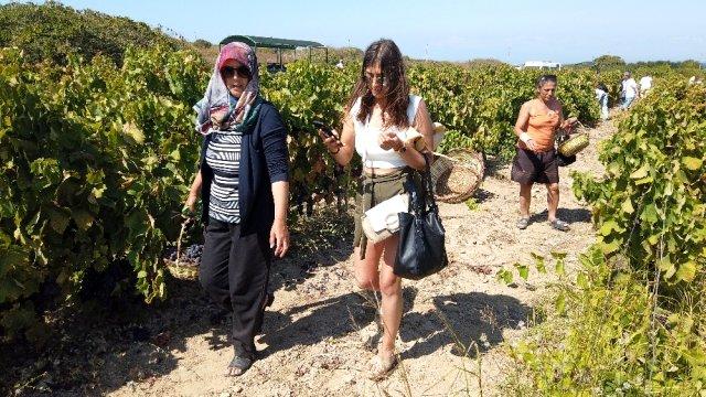 Bozcaada'da Sepetini Al, Üzümünü Kendin Kes Turizmi