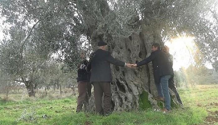 Çanakkale Bayramiç'te, 600 Yıllık Zeytin Ağacı Tescillenmeyi Bekliyor