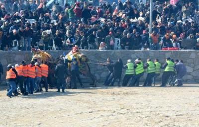 Ayvacık'ta 3'üncü Deve Güreşi Festivali Yapıldı