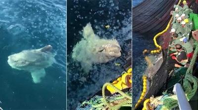 Çanakkale'de Yakalanan Yarım Tonluk Pervane Balığı Şaşırttı