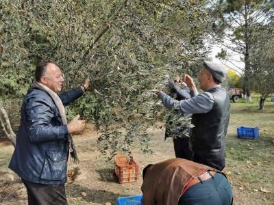 ÇTSO Yönetim Kurulu Başkanı Eceabat Zeytin Toplama ve Hasat Etkinliğine Katıldı
