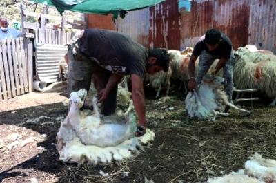 Gökçeada'da 'Özgür Koyunlar' Kırkılıp, Boyandı