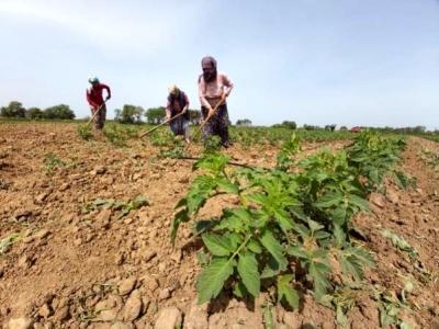 Meşhur Çanakkale Domatesi Fideleri, Toprakla Buluştu