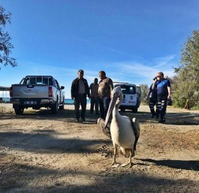 Yorgun Düşüp Gelibolu'ya İnen Pelikan, Yeniden Doğal Ortamına Salındı