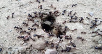 Yüzlerce Karıncanın Yiyecek Telaşı Tatilcilerde Deprem Tedirginliği Yarattı